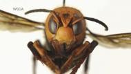 'Murder hornet' discovered in Langley