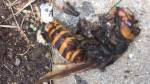 The remains of an Asian giant hornet are seen after being squished by a Langley, B.C. woman.