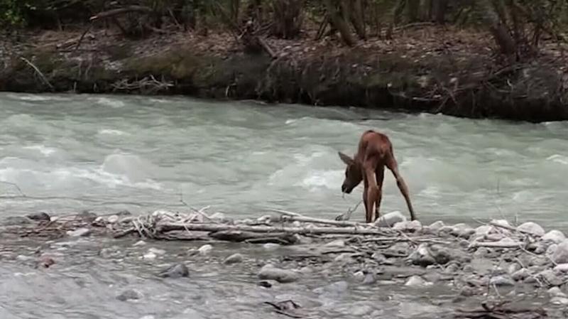 Moose rescued from raging river in Alaska