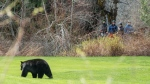 A group of cyclists stops along the Whistler Valley Trail to view a black bear grazing along the golf course in May 2020. (Sasha Stephanian, submitted through our app, Weather Watch by CTV Vancouver)