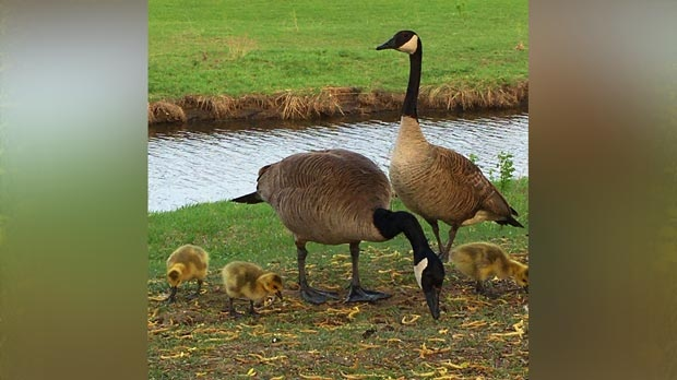 Sturgeon creek feathered babies. Photo by Renee Levesque.