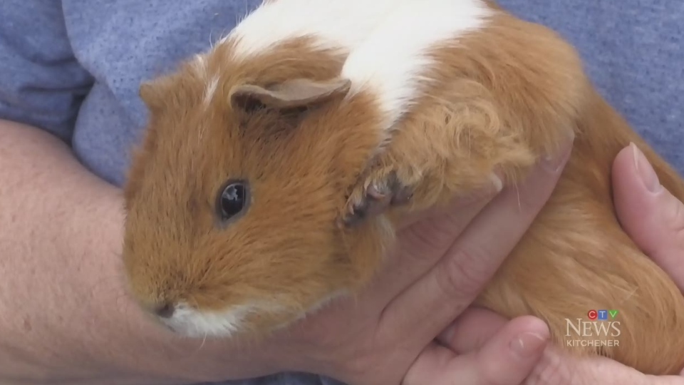 Guinea pigs found dumped in Waterloo