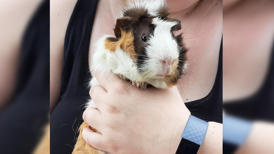 A guinea pig beind held