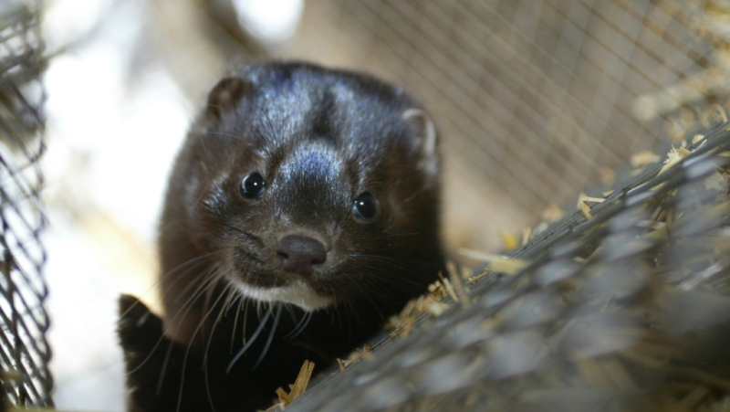 Mink farm workers in the south of the Netherlands were believed to have contracted the coronavirus from minks, which could be the first known cases of animal-to-human transmission, according to the World Health Organization. (AFP)