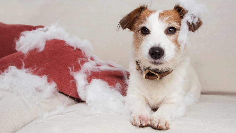 Some pets will show destructive behaviour when stressed or experiencing separation anxiety. (Shutterstock)