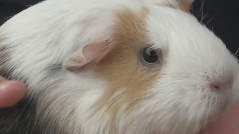 Guinea Pig Sanctuary believes more are missing