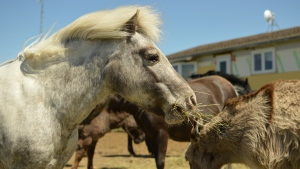 The Happy Little Hooves Pony and Donkey Sanctuary has been operating since early 2019. It serves as a home for unwanted ponies and donkeys. (Brendan Ellis/CTV News)