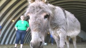 Sask. sanctuary saving ponies and donkeys