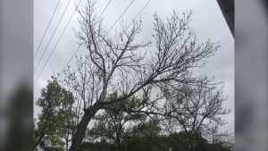 Tree infested with cottony ash psyllid. (Source: Touria Izri/CTV News