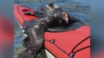Island kayakers save injured vulture from drowning
