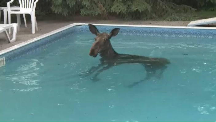 A south Ottawa homeowner was surprised to find a moose in his backyard swimming pool Friday morning.