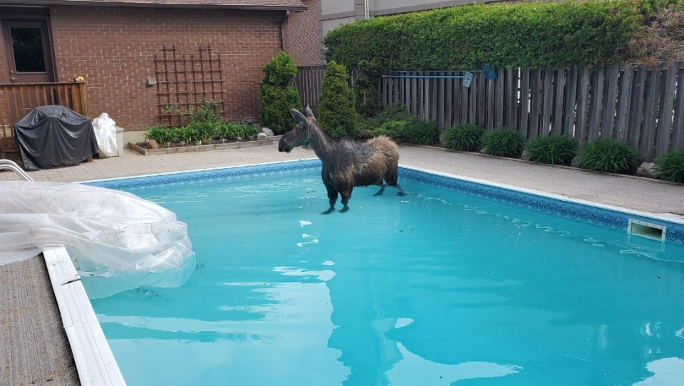 After swimming around for a time, the moose made its way to the shallow end of the pool.