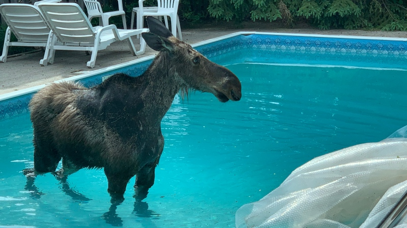 A south Ottawa homeowner was surprised to find a moose in his backyard pool Friday morning. (Saron Fanel/CTV News Ottawa)