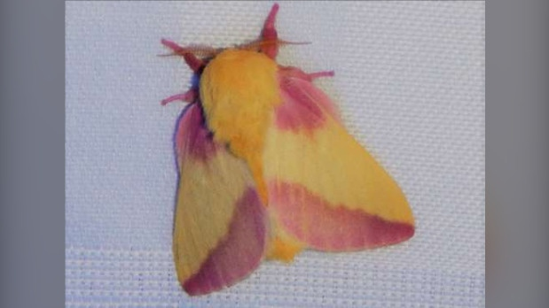 The photogenic moth taking the internet by storm is a familiar sight in Guelph, Ont.