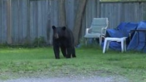 Bear on the loose in Barrie  May 29th, 2020 (CTV News)