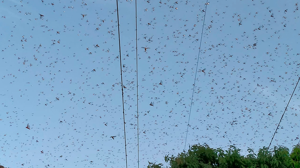 Locusts in Pakistan