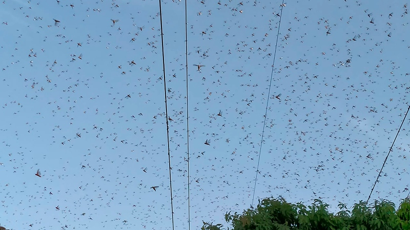 Locusts swarm above a mango tree orchard in Muzaffargarh, Pakistan, Friday, May 29, 2020. Pakistani officials say an outbreak of desert locusts is spreading across the country posing a threat to food security. (AP Photo/Tariq Qureshi)