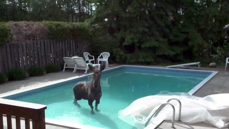 Moose in Ottawa backyard pool