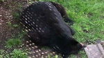 Barrie Police tranquilized a black bear spotted roaming around the south end of Barrie, Ont., on Fri., May 29, 2020. (Barrie Police Services)