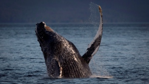 File photo: A humpback whale breaks through the water outside of Hartley Bay along the Great Bear Rainforest, B.C., Tuesday, Sept, 17, 2013. (Jonathan Hayward / THE CANADIAN PRESS)