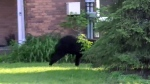 Black bear evades police in Barrie for hours