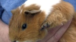 Guinea pigs on the loose: Search continues at Onta