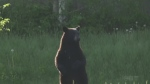 Viewer video of black bear