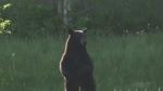 Viewer video of black bear