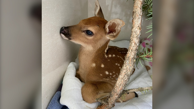 The Alberta Institute for Wildlife Conservation says baby deer, or fawns, left by themselves aren't actually in any danger and urges residents to leave them where they are if they're found. (Supplied)