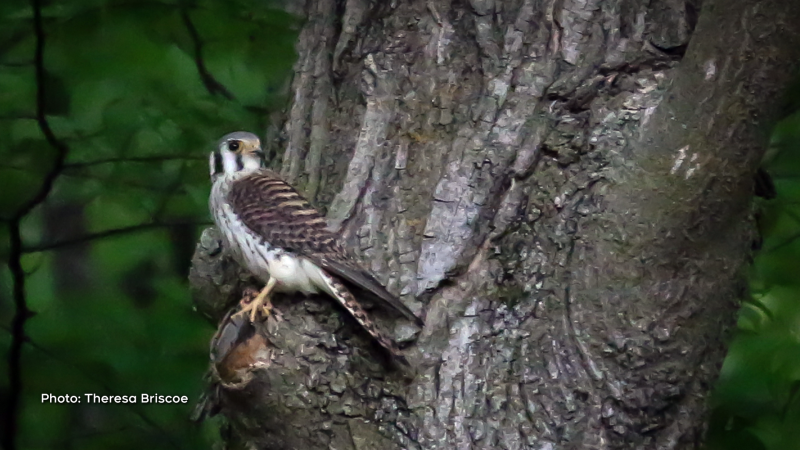 Female American Kestrel protecting her young in the nearby bird house, Renfrew, Ont. (Theresa Briscoe/CTV Viewer)