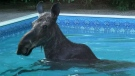 Moose in the swimming pool