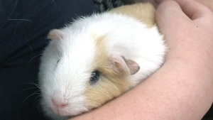 Community comes together for missing guinea pigs