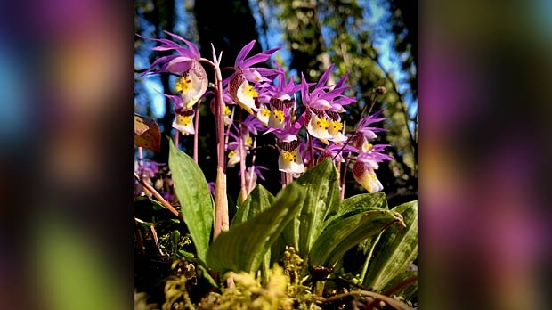 Calpso Orchids. Photo by Jenny Keller.