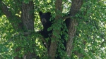 Police in Timmins are warning the public after they received a report Friday of an aggressive bear who charged at someone three times in the Hersey Lake Conservation Area. (File)
