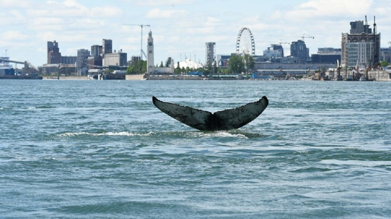 A humpback whale was spotted near Montreal's Old Port Saturday. SOURCE GREMM Facebook