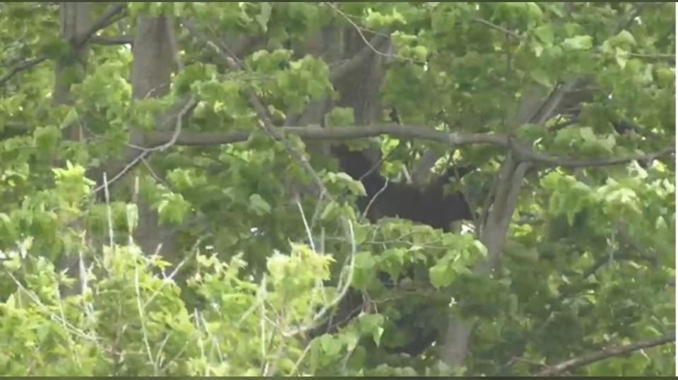 Bear in Kanata