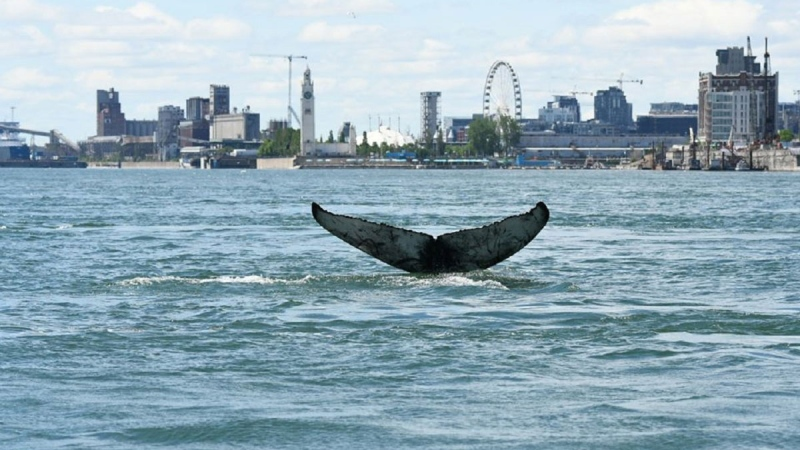 Montreal whale