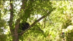Black bear spends hours up tree in Winnipeg suburb
