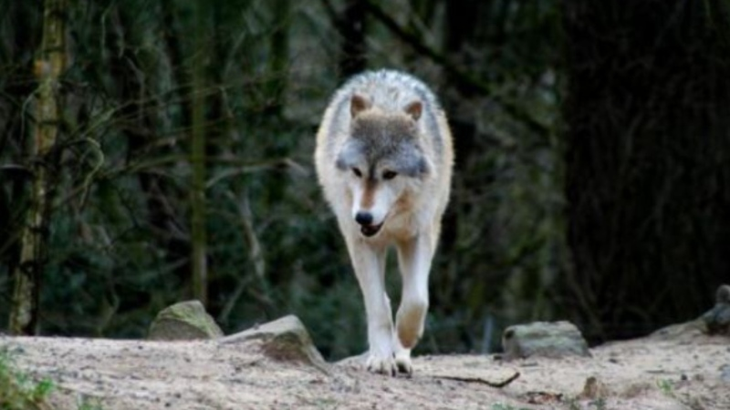 Multiple sightings have been reported, but conservation officers say they have not yet been able to capture a wolf that attacked a man in Port Edward Friday. (BC Conservation Officer Service/Facebook)