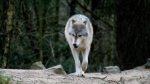 Conservation officers have killed a wolf they believe may have been responsible for an attack on a man in Port Edward, B.C. (BC Conservation Officer Service/Facebook)