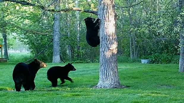 Three bears in the yard. Photo by Todd.
