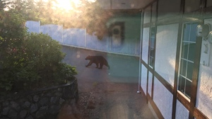 The large bear, pictured in the View Royal area Monday morning, has returned, according to police. (Sam Van Der Merwe)