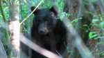 Conservation officers say habituated bears can't be relocated. They're likely to return to populated areas and continue to pose a threat to people they encounter. (Sam Van Der Merwe)