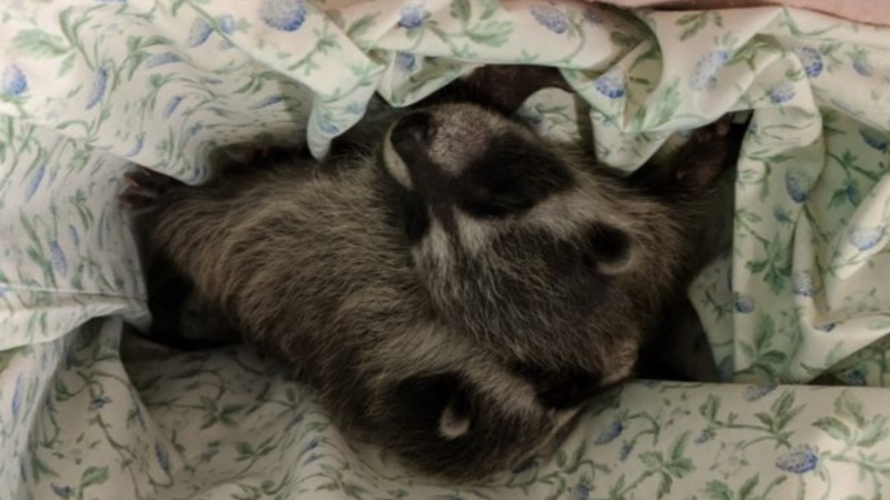 Baby raccoons are seen in a photo provided by the BC SPCA.