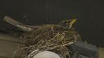 Robins nesting in Regina for spring