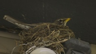 Robins nesting in Regina for spring