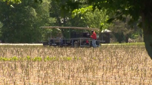 Of the 216 migrant workers at Scotlynn Group's farm in Norfolk County, Ont., 125 have tested positive for COVID-19.