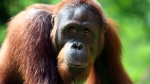 Orangutans are being wiped out as their habitat continues to disappear. (Dimas Ardian/Getty Images)