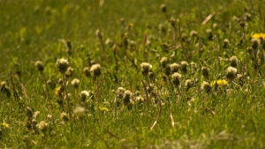 The City of Edmonton expects more weeds than usual this summer because there will be less maintenance during COVID-19. June 2, 2020. (Matt Marshall/CTV News Edmonton)