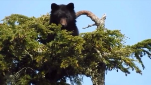 A Port McNeill couple recorded incredible videos of bears atop a tall tree over the weekend: (Terry Eissfeldt)